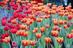 La flor anaranjada del tulipán en el jardín es fondo natural Foto de archivo libre de regalías