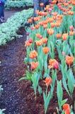 La flor anaranjada del tulipán en el jardín es fondo natural Imagen de archivo