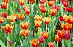 La flor anaranjada del tulipán en el jardín es fondo natural Fotos de archivo