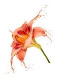 La flor anaranjada salpica Imagen de archivo