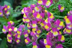 La flor anual del Linaria parece Mini Snapdragon Imágenes de archivo libres de regalías