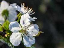 La flor anuncia venir de la primavera fotografía de archivo libre de regalías