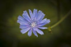 La flor azul única de Colorado Fotos de archivo