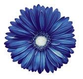 la flor Azul-blanca del gerbera, blanco aisló el fondo con la trayectoria de recortes primer Ningunas sombras Para el diseño Fotos de archivo libres de regalías