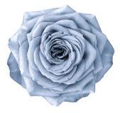 La flor azul clara de Rose en blanco aisló el fondo con la trayectoria de recortes Ningunas sombras primer Fotografía de archivo