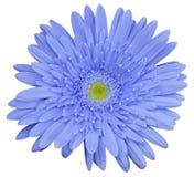 La flor azul clara del gerbera, blanco aisló el fondo con la trayectoria de recortes primer Ningunas sombras Para el diseño Foto de archivo libre de regalías