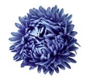 La flor azul del aster en un blanco aisló el fondo con la trayectoria de recortes Florezca para el diseño, textura, postal, envol Foto de archivo