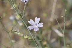 La flor blanca con cinco pétalos veteó los estambres se agrupa fotografía de archivo libre de regalías