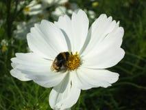 La flor blanca de Cosmo con manosea la abeja imagenes de archivo