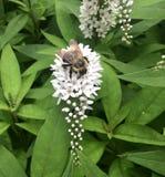 La flor blanca de la lisimaquia de cuello de cisne con manosea la abeja Foto de archivo