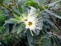 La flor blanca de un árbol de goma en la plena floración en Australia Imagen de archivo libre de regalías