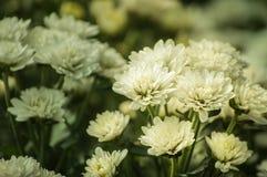 La flor blanca del crisantemo está floreciendo en el jardín Fotos de archivo