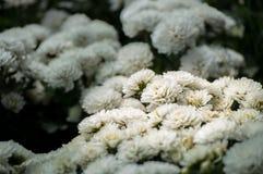 La flor blanca del crisantemo está floreciendo en el jardín Imágenes de archivo libres de regalías