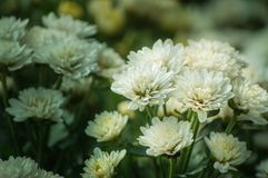 La flor blanca del crisantemo está floreciendo en el jardín Imagen de archivo libre de regalías