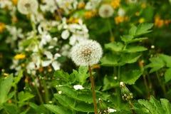 La flor blanca del diente de león en un jardín con las flores amarillas y blancas Foto de archivo