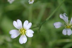 La flor blanca del primer en un fondo verde Fotos de archivo libres de regalías