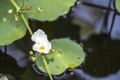 La flor blanca es r en la charca imágenes de archivo libres de regalías