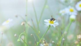 La flor blanca hermosa con la abeja y el vintage entonan Imágenes de archivo libres de regalías