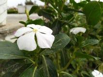 La flor blanca parece hermosa en jardín fotos de archivo libres de regalías