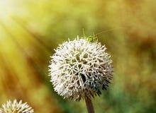 La flor blanca redonda grande con el saltamontes verde en sol irradia Fotografía de archivo
