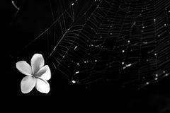 La flor blanca se pegó en red de la araña Fotografía de archivo libre de regalías