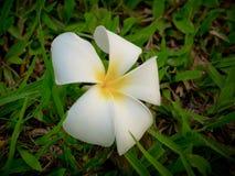 La flor blanca y amarilla del Plumeria cae abajo en la tierra Fotografía de archivo