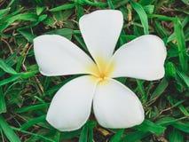La flor blanca y amarilla del Plumeria cae abajo en la tierra Fotos de archivo