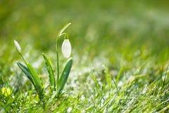 La flor brillante del snowdrop, foco minúsculo muy suave, perfecciona para el regalo Fotos de archivo libres de regalías