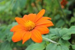 La flor china del chrysatema resuelve salida del sol en un parque de la ciudad Flor china del crisantemo en un fondo aislado foto de archivo
