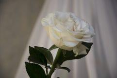 La flor color crema grande preciosa subió hojas y espinas del verde Todavía vida 1 Contraste con las luces y las sombras, silueta foto de archivo