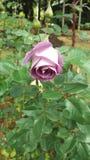 La flor color de rosa Foto de archivo libre de regalías