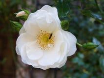 La flor color de rosa rosa clara simple con los brotes Imágenes de archivo libres de regalías