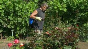 La flor color de rosa de los esprayes del jardinero forra cerca de las uvas de la vid por el rociador sin cuerda almacen de metraje de vídeo