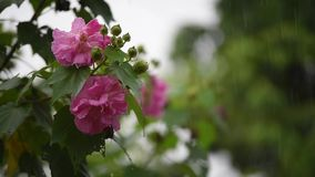 La flor color de rosa del algodón con agua cae en día lluvioso almacen de video