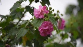 La flor color de rosa del algodón con agua cae en día lluvioso metrajes
