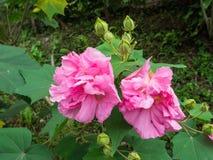 La flor color de rosa del algodón, malva color de rosa o cambiable confederada subió Imagen de archivo libre de regalías