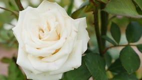 La flor color de rosa del escaramujo blanco en el arbusto, sol señala por medio de luces