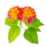 La flor colorida hermosa del camara del Lantana se aísla en los vagos blancos Imagen de archivo libre de regalías
