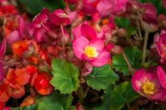 La flor de la begonia está floreciendo en el jardín Imágenes de archivo libres de regalías