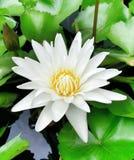 la flor de Bhuddha Fotos de archivo libres de regalías
