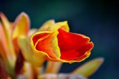 La flor de Canna imagenes de archivo