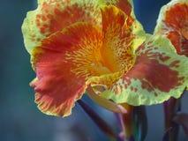 La flor de Canna en un color gaden Imagen de archivo