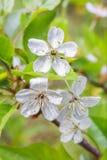 La flor de cerezo con lluvia cae en los pétalos, pistilos y los estambres se cierran para arriba en un fondo de hojas verdes Imagen de archivo