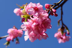 La flor de cerezo de Tailandia hermosa Imagen de archivo