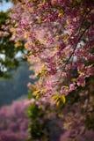 La flor de cerezo de Tailandia hermosa Imágenes de archivo libres de regalías