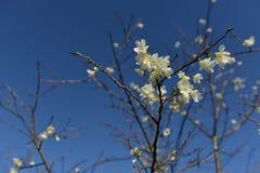La flor de cerezo es un símbolo de Japón Fotografía de archivo libre de regalías