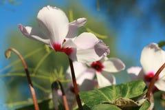 La flor de cyclamen Imagen de archivo libre de regalías