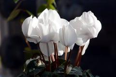 La flor de cyclamen Fotos de archivo