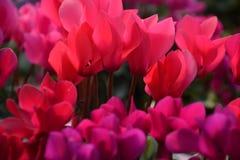 La flor de cyclamen Fotos de archivo libres de regalías