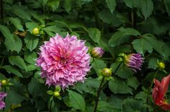 La flor de la dalia del jardín está floreciendo en el jardín Imagen de archivo libre de regalías